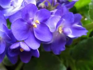 violets1