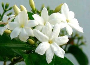 jasmine de grasse