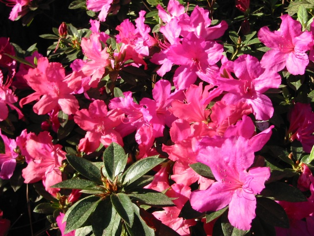 Azaleas in Texas by John