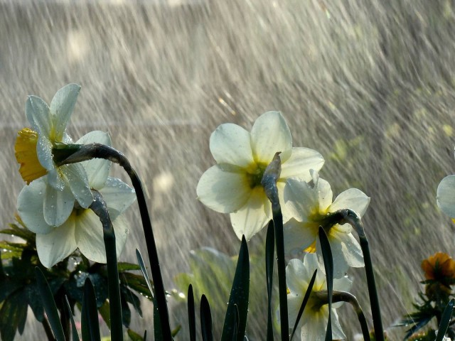 narcissus rain