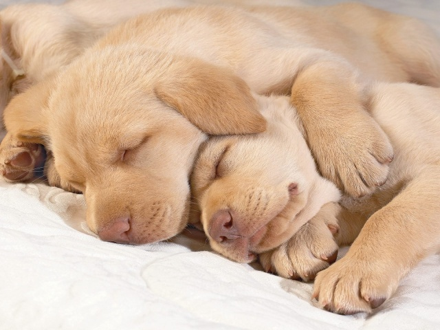 sleeping-golden-retriever-puppies-photo
