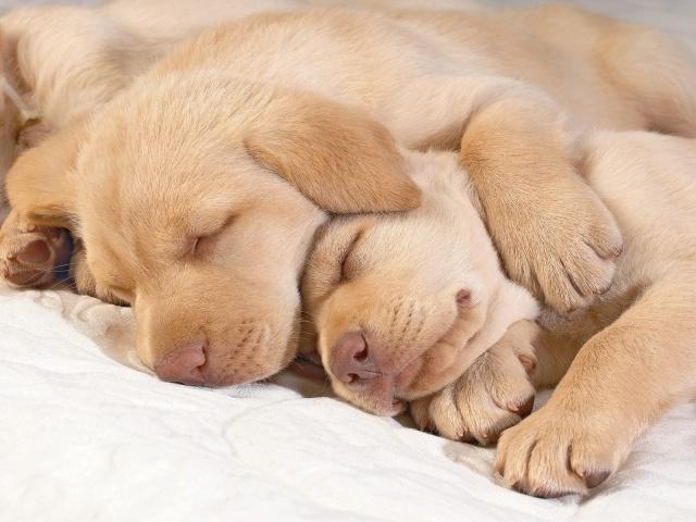 sleeping-golden-retriever-puppies-photo