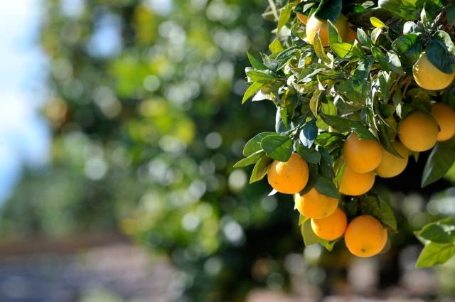 Orange-Grove-Spain